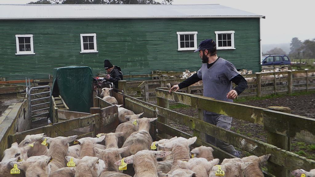 Rafael Santos do CordeiroBIZ durante realização de ultrassom nas ovelhas da One Stop Ram Shop, Nova Zelândia. Equipamentos modernos, identificação eletrônica dos animais e instalações práticas são alguns dos destaques tecnológicos. A reforma já aconteceu por lá, e continua em andamento. (junho, 2017)