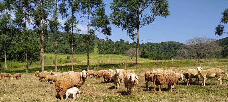 Setor de ovinocultura com as bergamácias trazidos dos estados de Goiás e Rio de Janeiro.